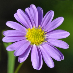 Anemone blanda (Greek windflower)